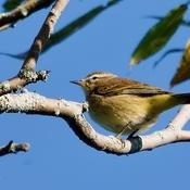 Palm Warbler @ A K Sculthorpe Memorial Marsh in Port Hope