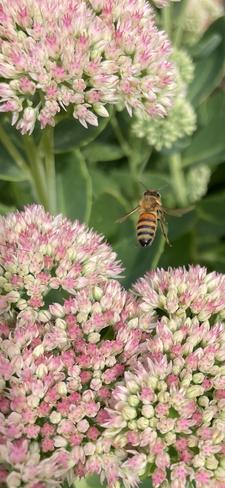 Backyard Bee Odessa, Ontario, CA