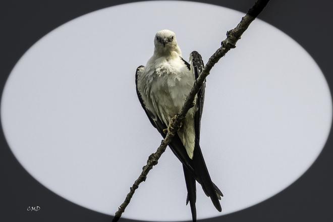 Swallow Tailed Kite Aylmer, ON