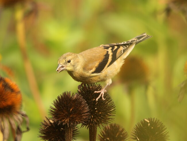 Goldfinch Welland, ON