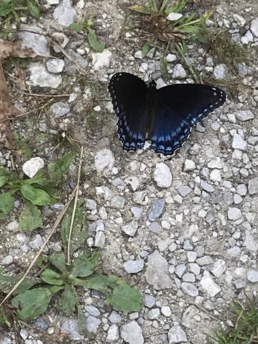Beautiful Butterfly Windsor, Ontario, CA
