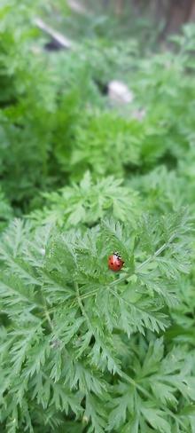 Lonely Ladybug High River, AB