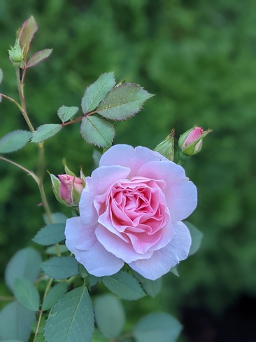 Lovely Rose Pierrefonds, QC