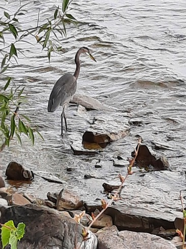 Heron Kingston, ON
