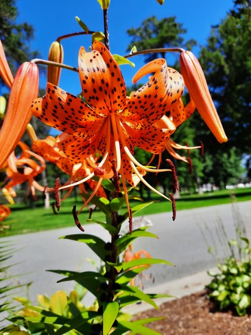 Tiger Lilly Kingston, ON