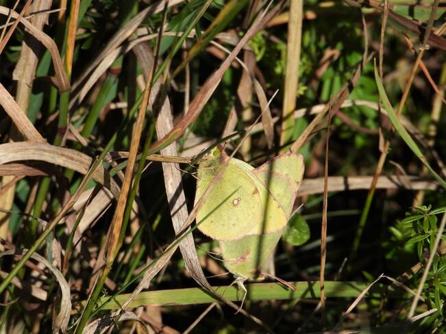 Accouplement d'un papillon jaune Matane, QC