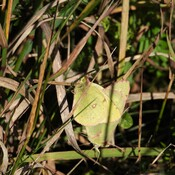 Accouplement d'un papillon jaune