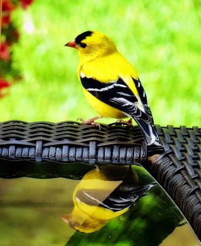 Goldfinch reflection K1c6v9