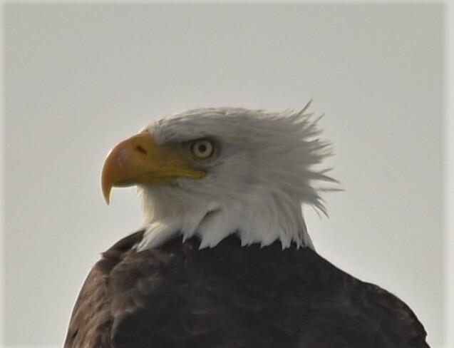 bald eagle sighting Tilbury, ON