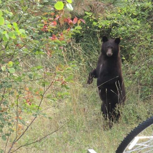 Bear Grand Forks, BC