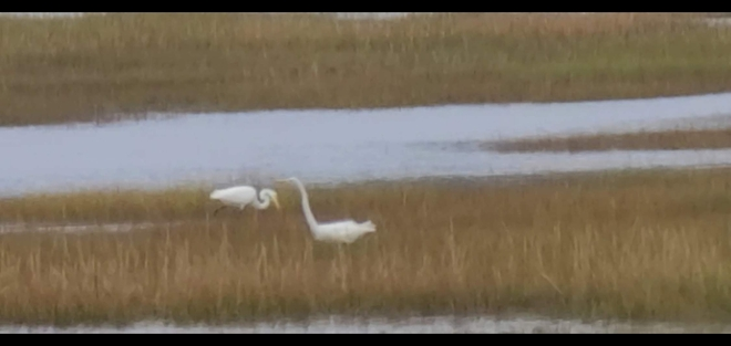 Great Egrets 10 and counting Saint John, NB