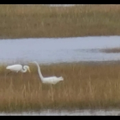 Great Egrets 10 and counting
