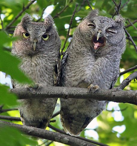 Young screech owl yawn Ottawa, ON