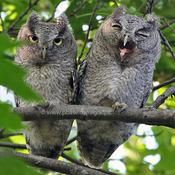 Young screech owl yawn