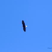 Eagle Soaring Over BellweatherKennels