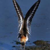 2021-09-15 - Beautiful Wing Display of a Killdeer, in Esquimalt Lagoon