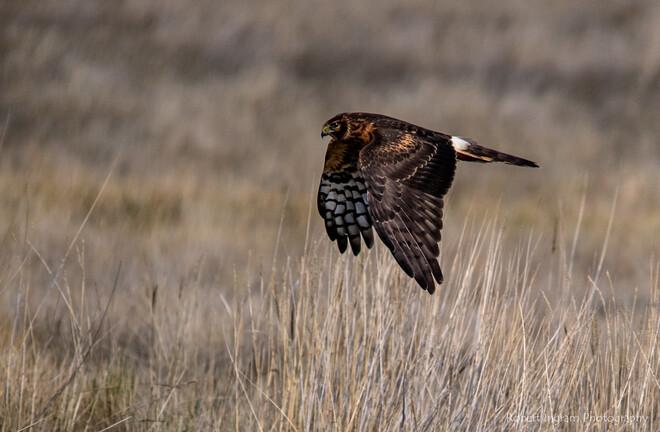 Birds of Prey Suffield, AB