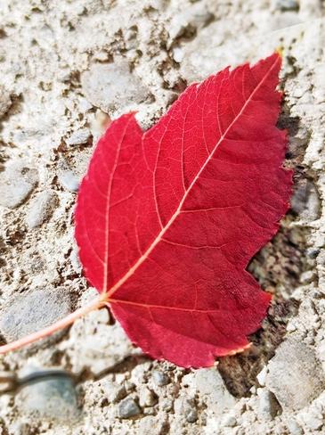 fall leaf Surrey, BC