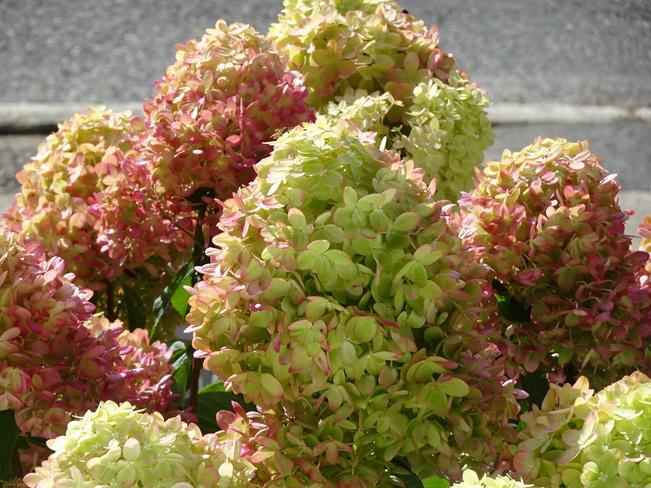 Little Limelight Green Hydrangeas Sudbury, ON