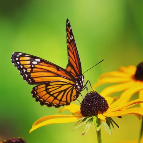 Butterfly Hamilton, Ontario, CA