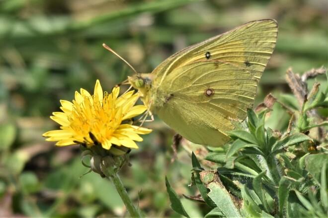 butterfly on dandelion Hillman Marsh Conservation Area, Mersea Road 2, Leamington, ON