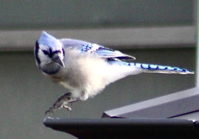 Blue Jays Etobicoke, Ontario, CA