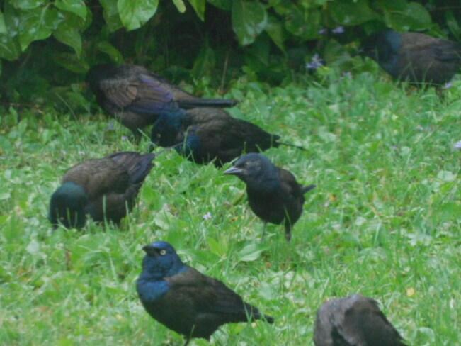 Blackbirds (Grackles) Englehart, ON