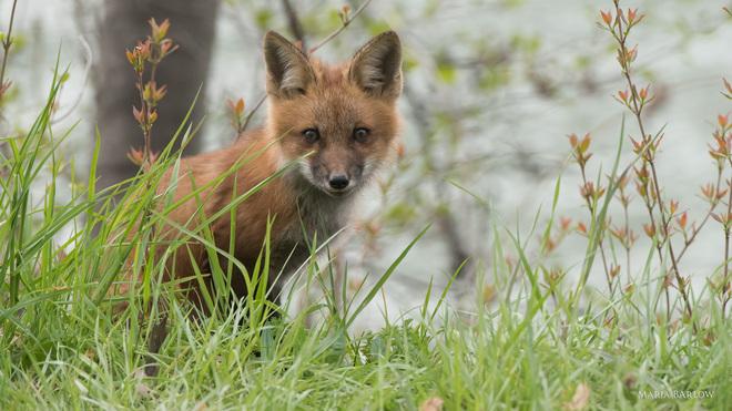 Fox kit Henley, ON