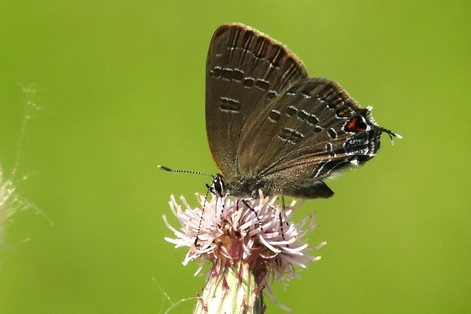 Tiny Banded Hairstreak Butterfly 140 King St E, Dundas, ON L9H 7R1, Canada