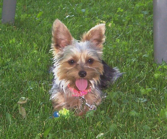 Our Yorkie, her tennis ball & a strange critter! Malone, ON