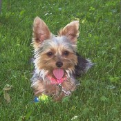 Our Yorkie, her tennis ball & a strange critter!