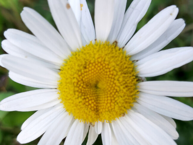 Solitary Daisy Osgoode, ON