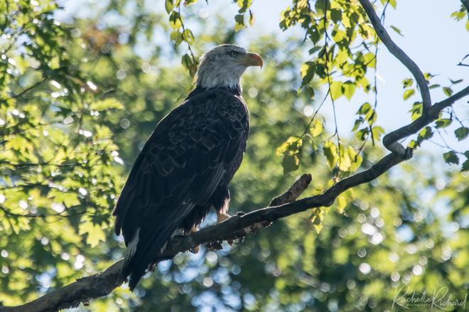 Majestic Bald Eagle Viewlake, ON