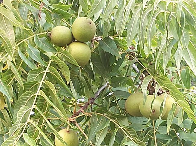 Black Walnuts a Plenty! Osgoode, ON
