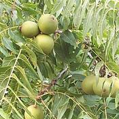 Black Walnuts a Plenty!
