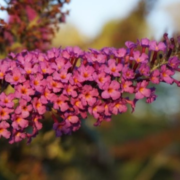 Lovely Butterfly Bushes
