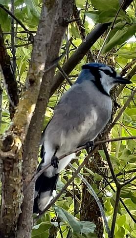 Blue Jay Kimberley, British Columbia, CA