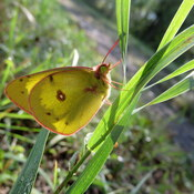 Pink-edged sulphur butterfly