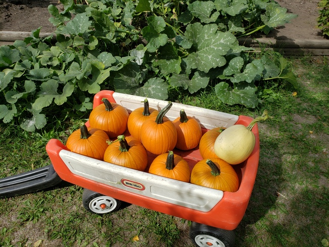 "Early ""little"" pumpkin harvest Parkland County, AB"