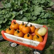 """Early """"little"""" pumpkin harvest"""