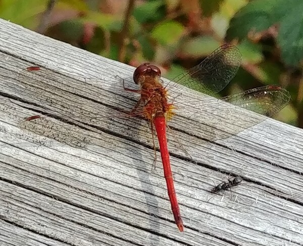 Red Damselfly Harcourt, ON