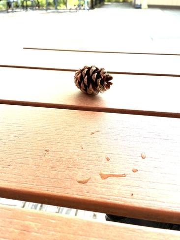 A Fall Pine cone Toronto, Ontario, CA