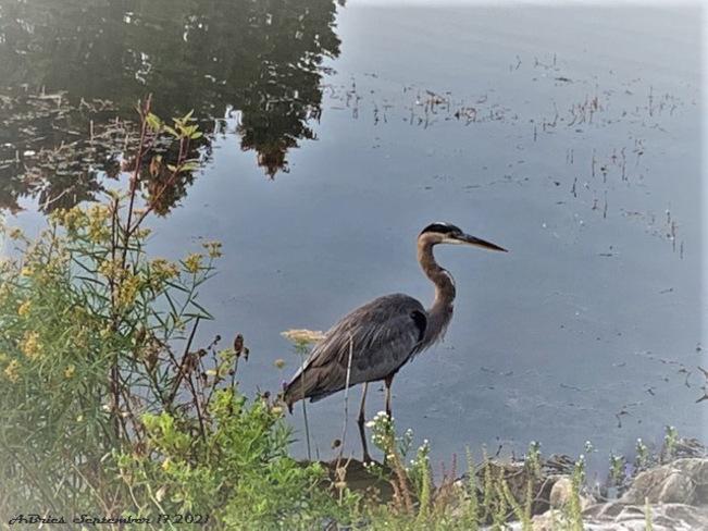 Grey Heron Loafers Lake, Brampton, ON