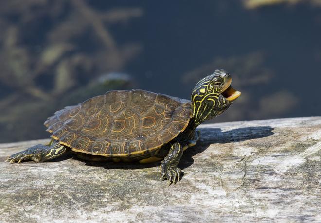 Tiny turtle yawning. Holiday Beach Conservation Area, Amherstburg, ON