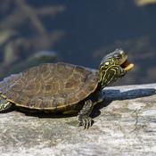 Tiny turtle yawning.