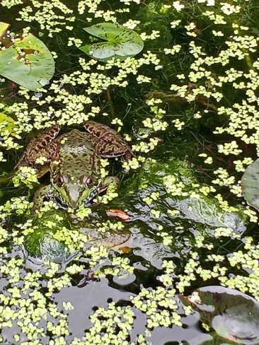 This green frog made it's home in the pond in my backyard Niagara Falls, ON