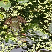 This green frog made it's home in the pond in my backyard
