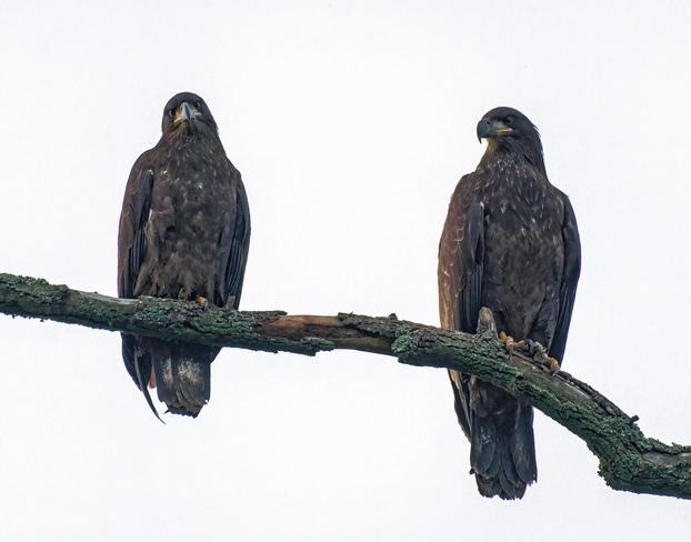 Juvenile Bald Eagles Aylmer, Ontario