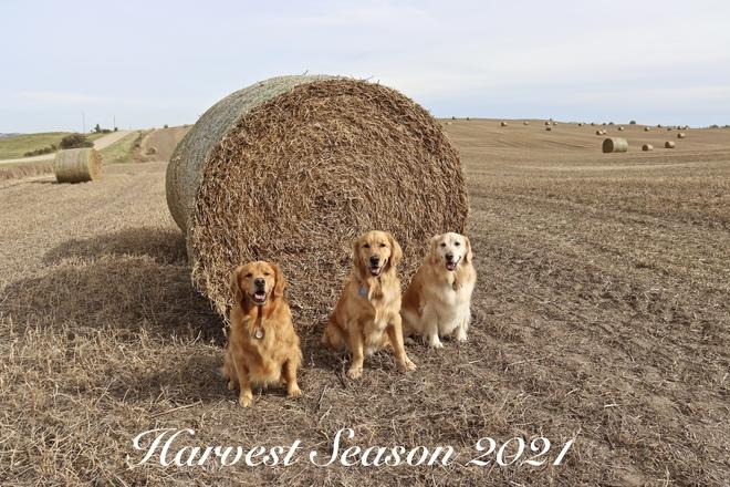 Harvest Season 2021 Lacombe County, AB