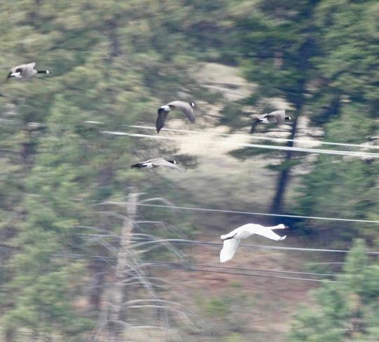 TRUMPETER SWAN RACES GEESE? Cranbrook, BC